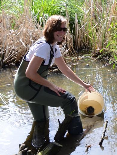 Dr Sara Long retrieving cages containing shrimp from a polluted drain in an urban catchment. Photo: Kate Berg, Western Water